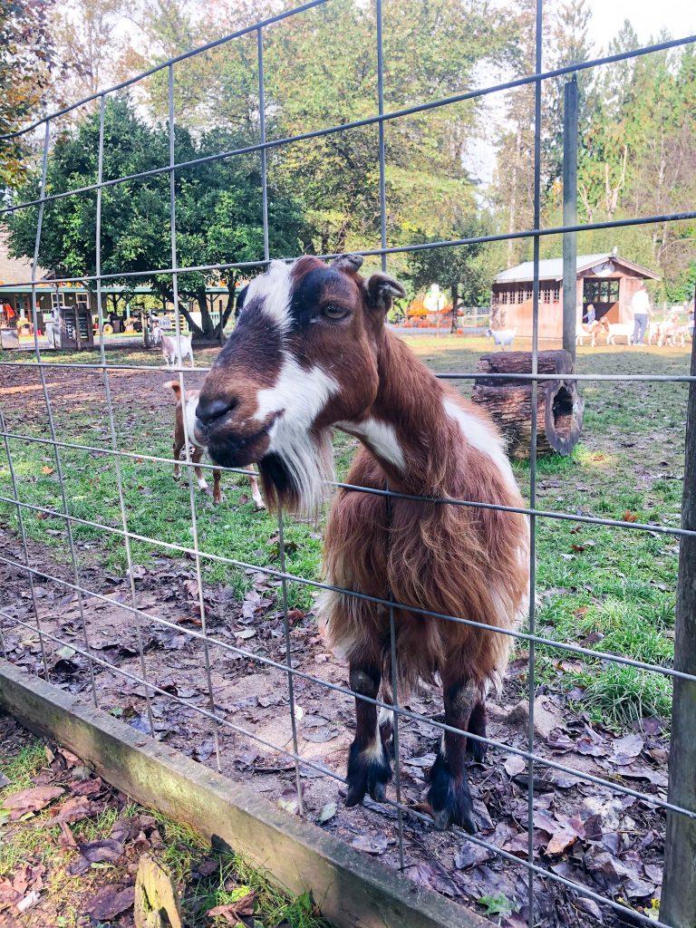 french farm animals - goat