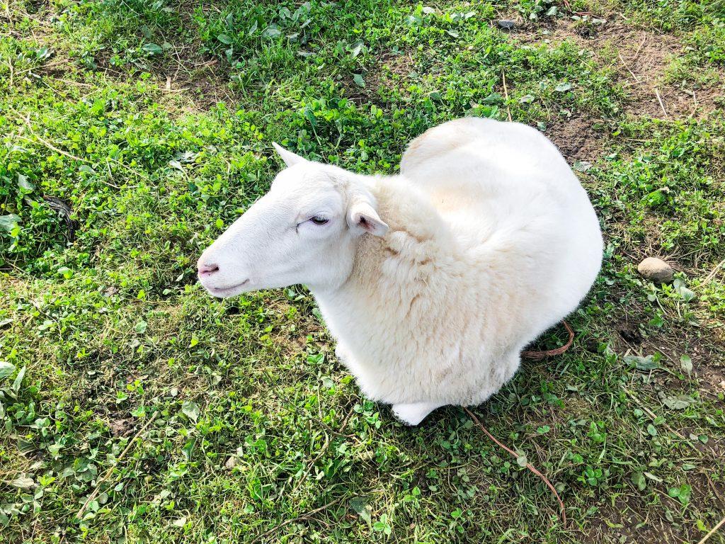 farm animals in french - sheep