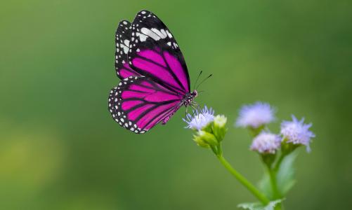 French nursery rhyme: Le papillon glouton
